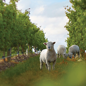 Schaapjes tussen de wijngaarden