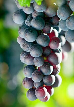Een tros met rode druiven