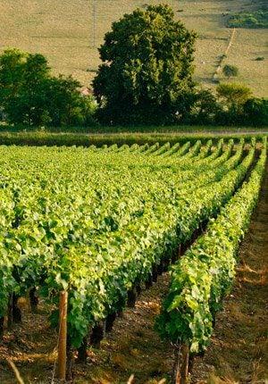 Puglia wijngaard