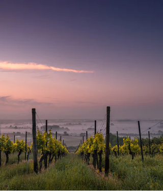 wijngaard gras