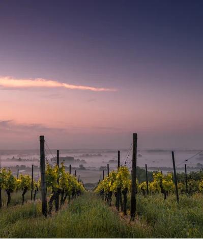 Een wijngaard in de schemering
