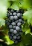 druiven rode wijn