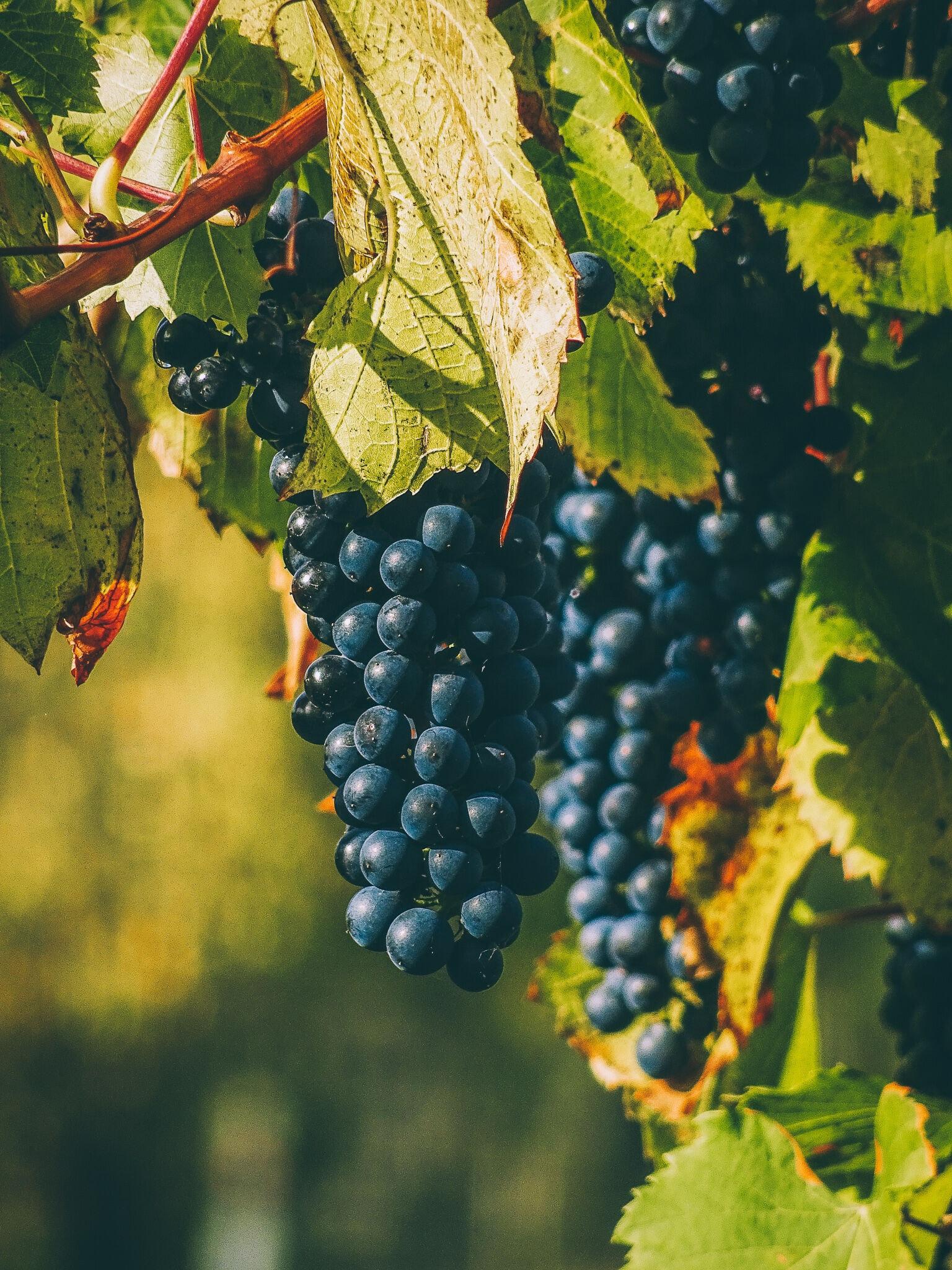 Wijngaard van Carbon