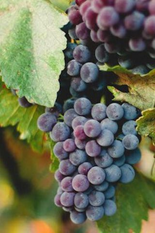 tros blauwe druiven ingezoomd