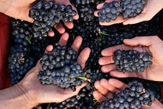 De druif: feiten op een rijtje
