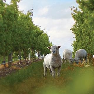 schapen boomgaard
