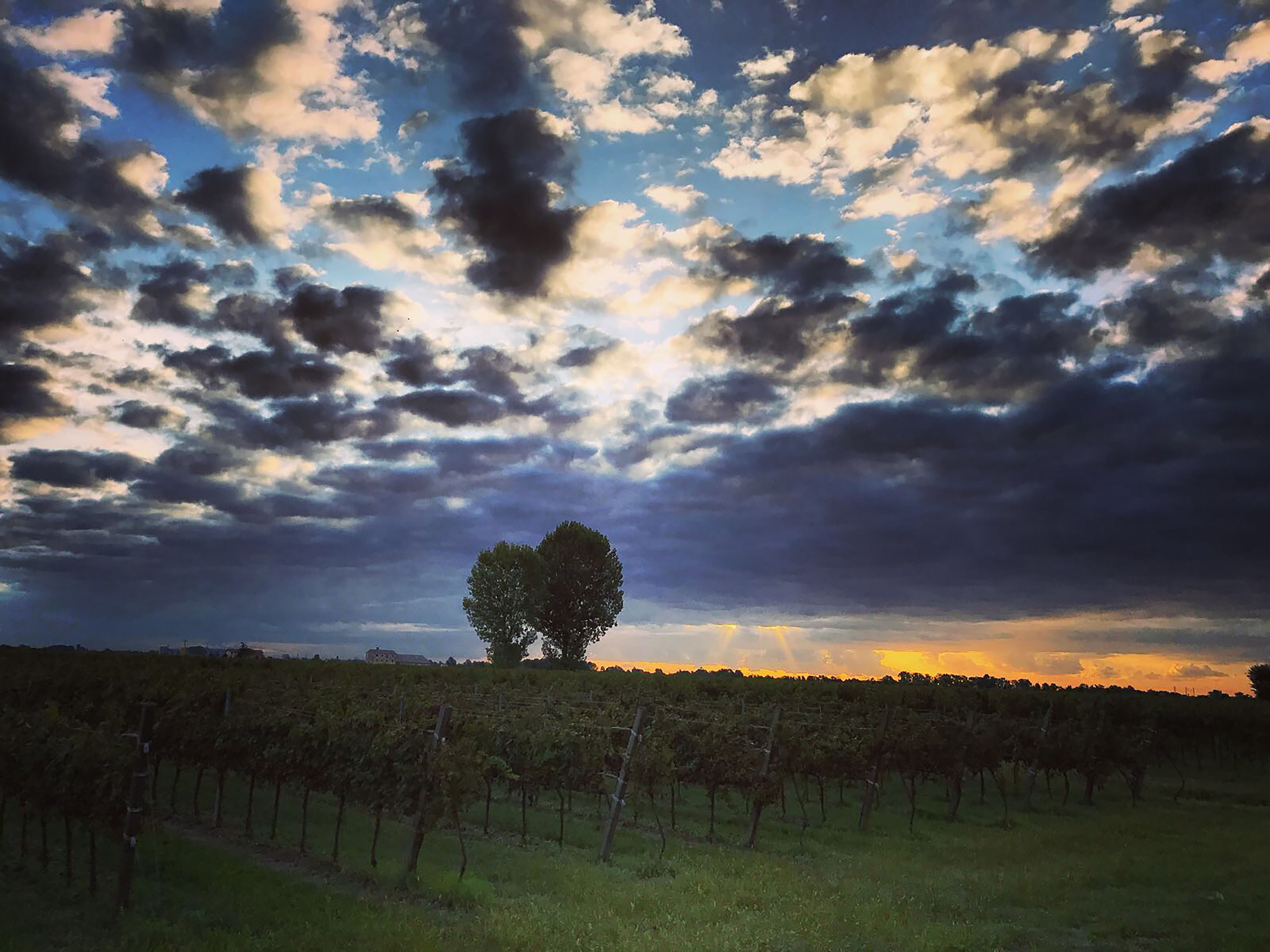 De wijngaarden waar Ogio wordt verbouwd