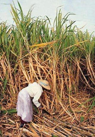 Suikerriet