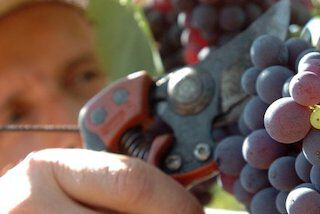 Inycon druiven