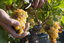 Trossen Chardonnay druiven