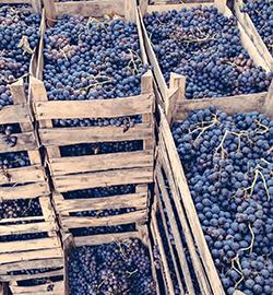 druiven in kisten