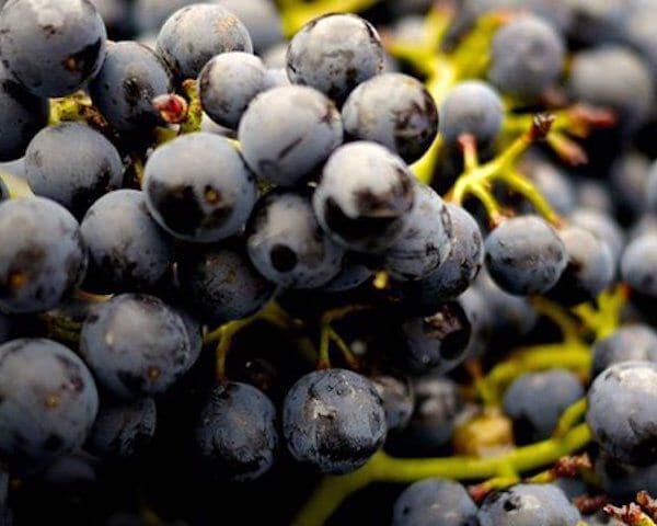 cabernet sauvignon druiven