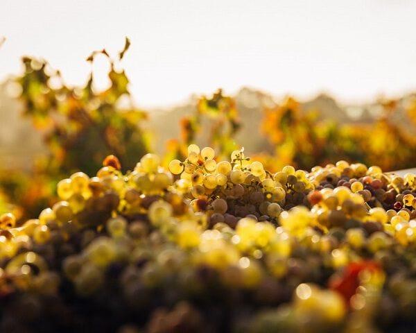 Focus op witte wijn