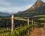 Kanonkop wijngaard