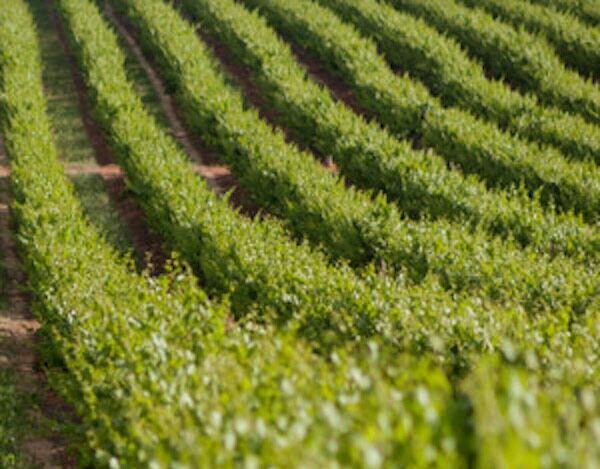 wijngaard in chili