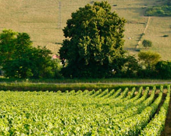 Robertson wijngaard